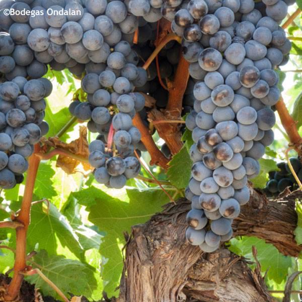 Ondalan's vine.